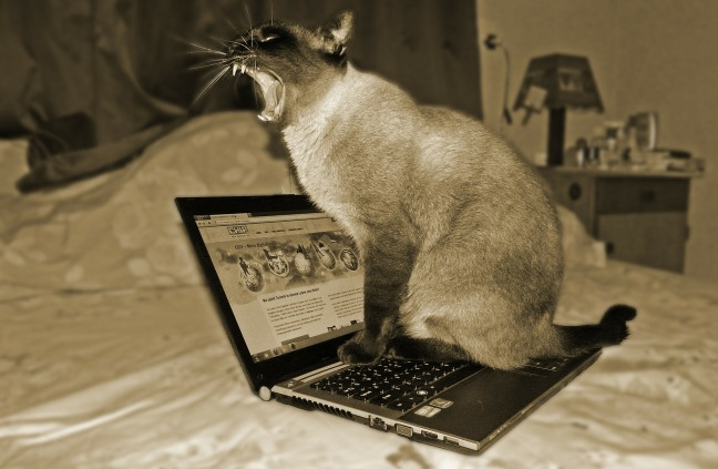 Siamese cat yawning on laptop. Cat looks angry.